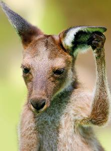 Western Grey Kangaroo postcard product photo