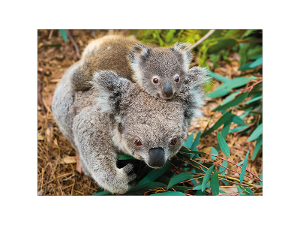 Koala and baby postcard product photo