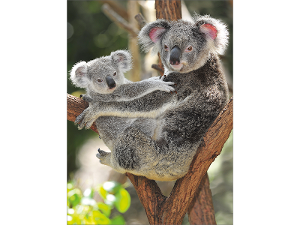Koala and joey postcard product photo