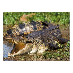 Saltwater Crocodile, Kakadu, NT postcard product photo