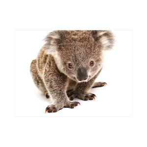 Koala postcard product photo