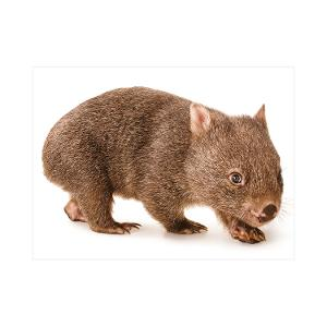 Wombat postcard product photo