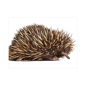 Echidna postcard product photo