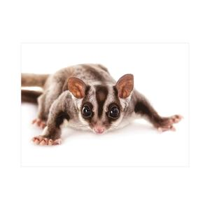 Sugar Glider postcard product photo